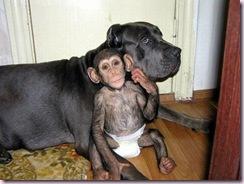 chimp dog1