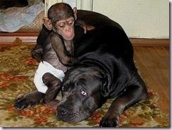 chimpdog4